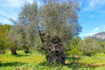 Blick auf Olivenbäume
