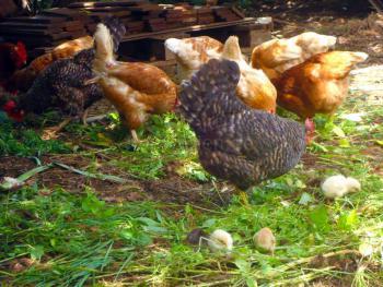 Eier-Lieferanten