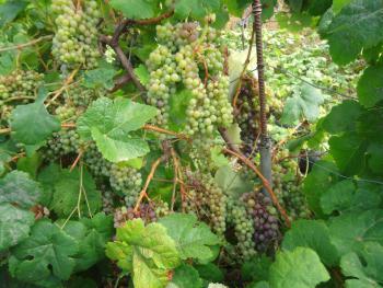 Weinreben im Garten der Finca